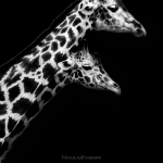 Black and White Zoo series por Nicolas Evariste 14