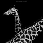 Black and White Zoo series por Nicolas Evariste